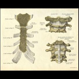 cervical spine and sternum poster