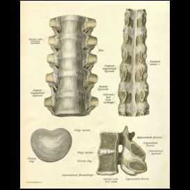 thoracic spinal anatomy poster