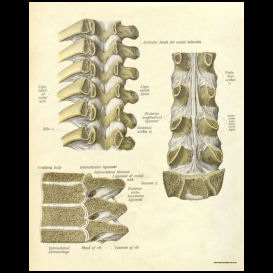 thoracic spinal and vertebral anatomy poster