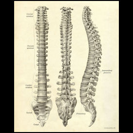 spinal column anatomy poster