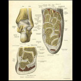 foot and ankle cross section anatomy