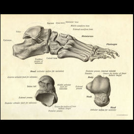 Bones of the Foot Anatomy Poster | Photos and Images | Health and Fitness