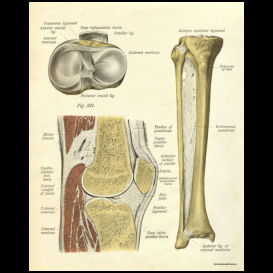 knee anatomy poster