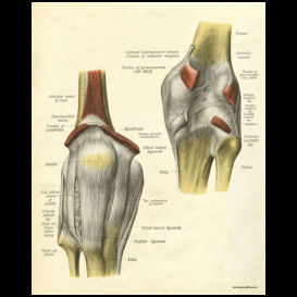 Ligaments of the Knee Anatomy Poster | Photos and Images | Health and Fitness