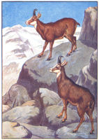 goat print from 1906 child's animal book