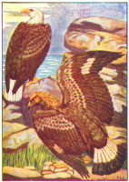Hawk Print from 1906 Child's Animal Book | Photos and Images | Animals