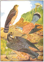 hawks print from 1906 child's animal book