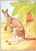 kangaroo print from 1906 child's animal book