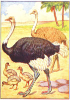 ostrich print from 1906 child's animal book