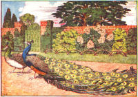 peacock print from 1906 child's animal book