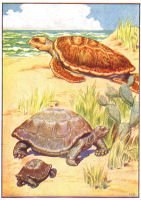 turtles print from 1906 child's animal book