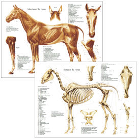horse anatomy muscles and bones