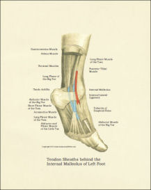 Foot Anatomy Poster / Print | Photos and Images | Health and Fitness