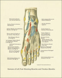 foot anatomy poster / print