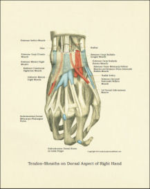 hand anatomy poster / print