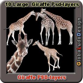 10 giraffes photo psd layers