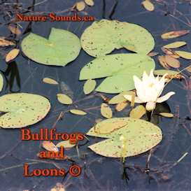 bullfrogs and loons