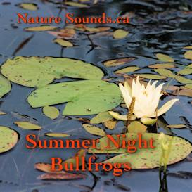 summer night bullfrogs