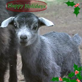 giggle with the goats jingle bells performance