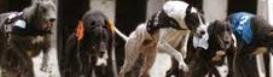 how to win at greyhound dog racing