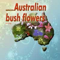 australian bush flowers - alpine mint bush