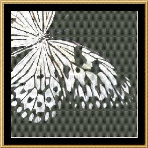 black & white butterfly ii