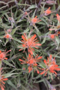 high desert indian paintbrush flower