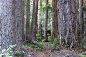 path through the old growth