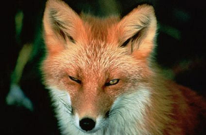 The Hunt - A Fox Ascends | Music | Classical