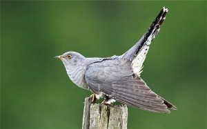 The Thicket - Cuckoo | Music | Classical