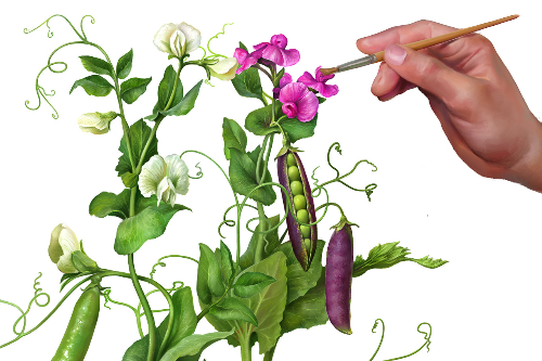 First Additional product image for - Pea Plants. Botanic Painted illustration Series, Separated