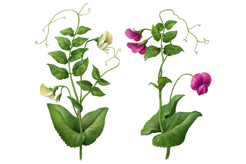 Second Additional product image for - Pea Plants. Botanic Painted illustration Series, Separated