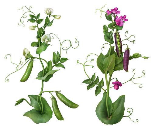 Third Additional product image for - Pea Plants. Botanic Painted illustration Series, Separated
