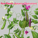 Pea Plants. Botanic Painted illustration Series, Separated | Photos and Images | Agriculture