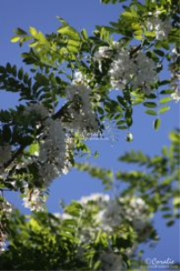black locust tree in bloom web