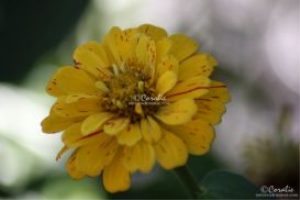 colors of the zinnia web