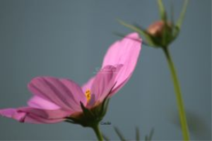 cosmos flower bloom 236