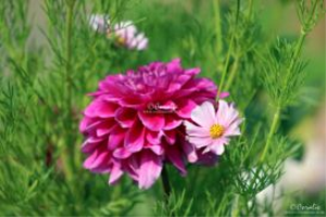 cosmos blooming with a dahlia flower web