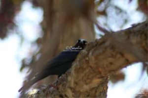 brewers blackbird 064 web