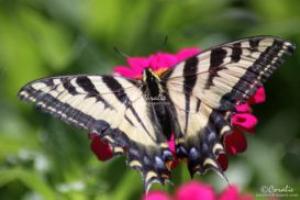yellow swallowtail butterfly on a zinnia flower web
