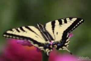 swallowtail butterfly on the zinnia flower web