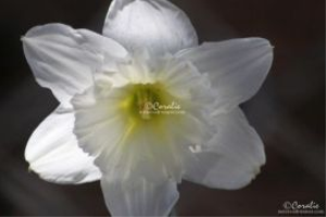 daffodil flower in white web