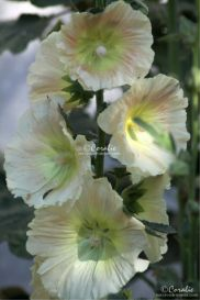 light colors of the hollyhock flowers web
