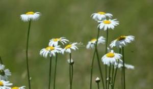 cascade daisy flowers