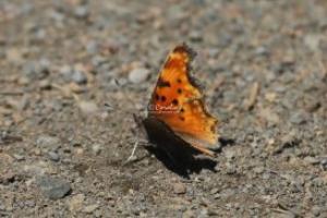 comma butterfly 696