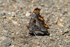 comma butterfly 695