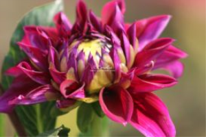 blooming bud of the dahlia flower 108