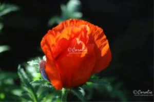 bright orange poppy flower bud web