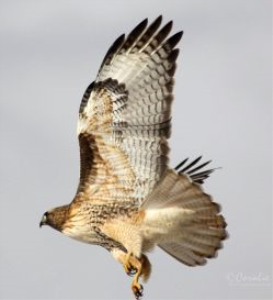 red tailed hawk flying away web