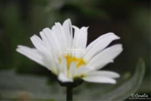 cascade daisy flower bloom web